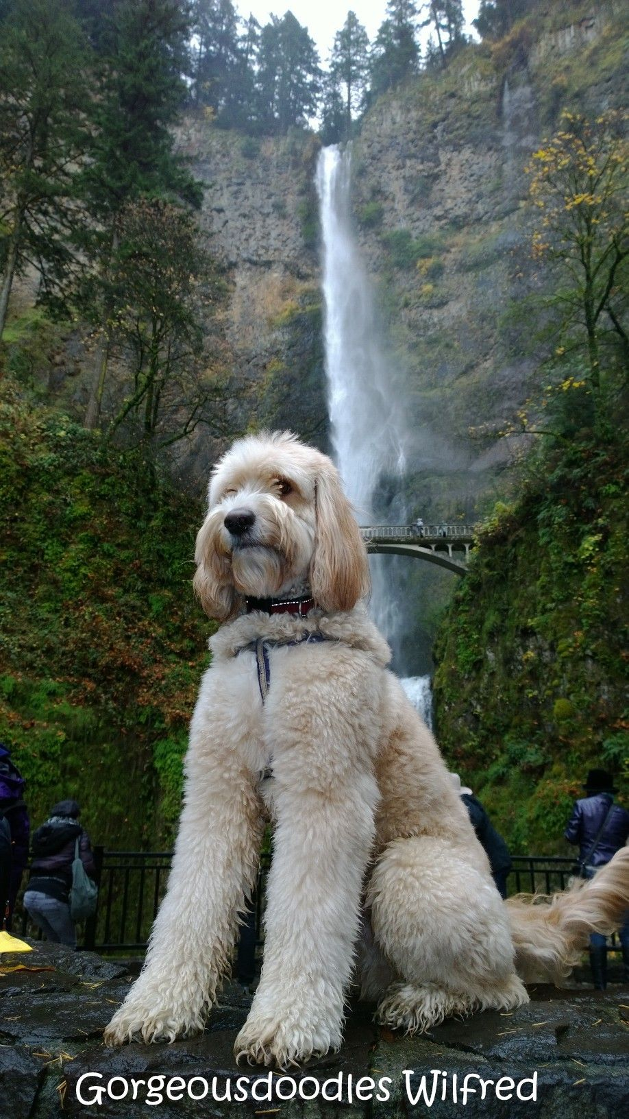 Gorgeousdoodle Wilfred Loves Hiking Labradoodle Breeders Labradoodle Puppy Labradoodle