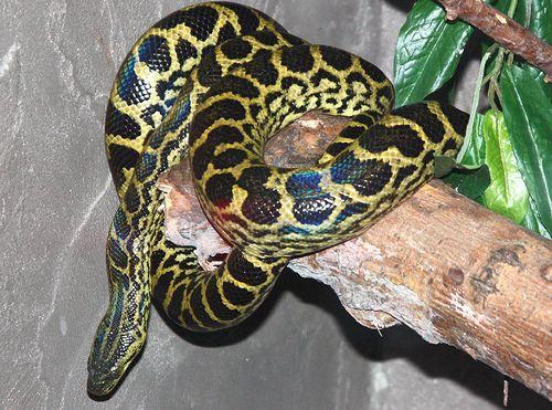 Yellow Anaconda | Eunectes notaeus | By: DianesDigitals | Flickr ...