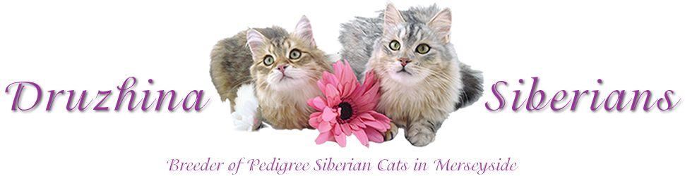 Druzhina siberian cat breeder merseyside siberian cat