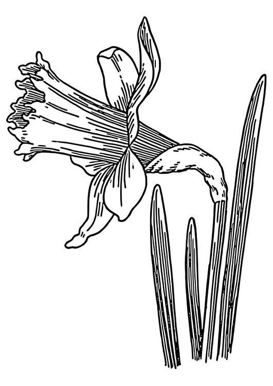 Malvorlage Wilde Osterglocke Ausmalbild 22327 Blumen Skizzen Malvorlagen Blumen Blumenzeichnung