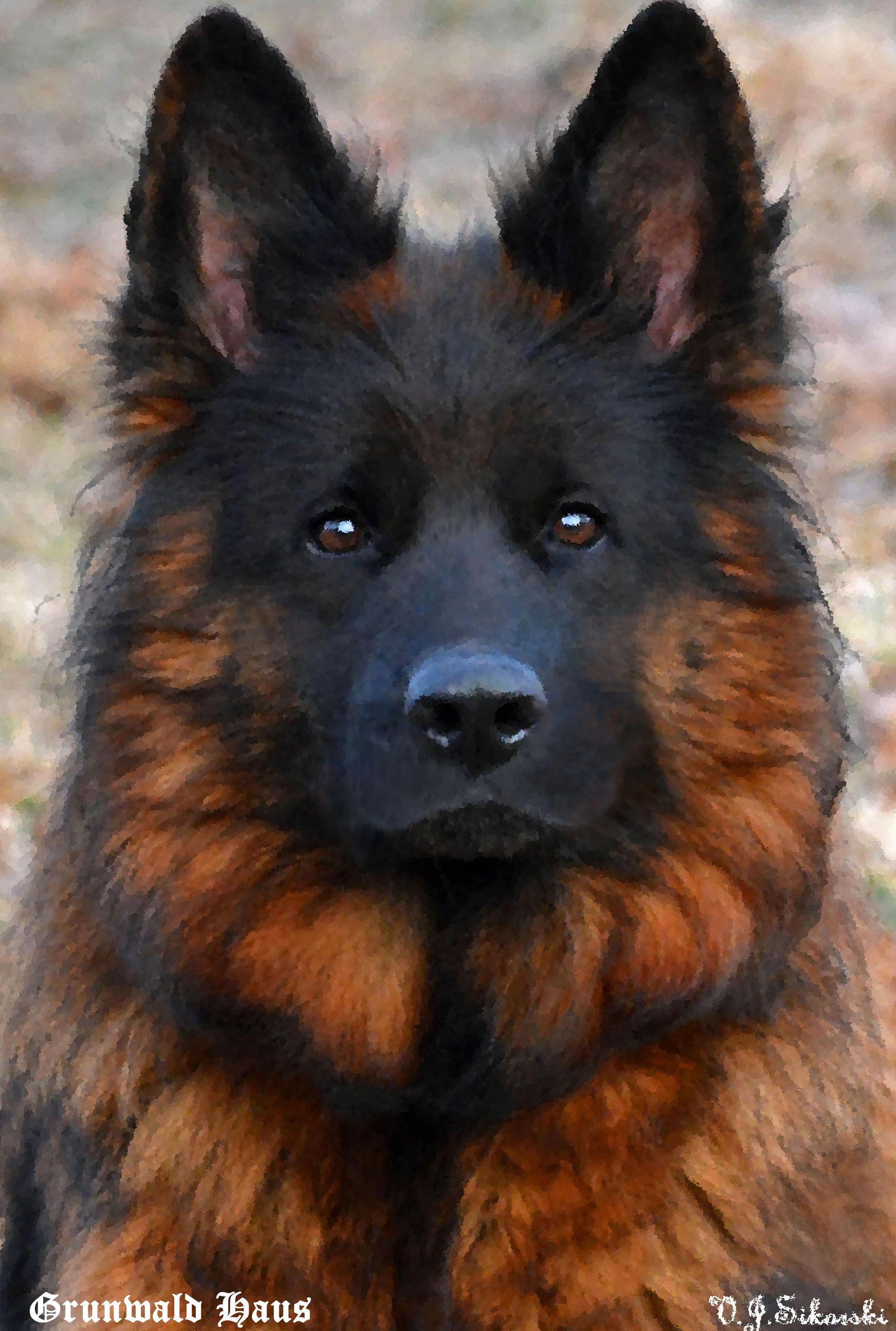 Grunwald Haus Long Coat German Shepherd Dogs Germanshepherds