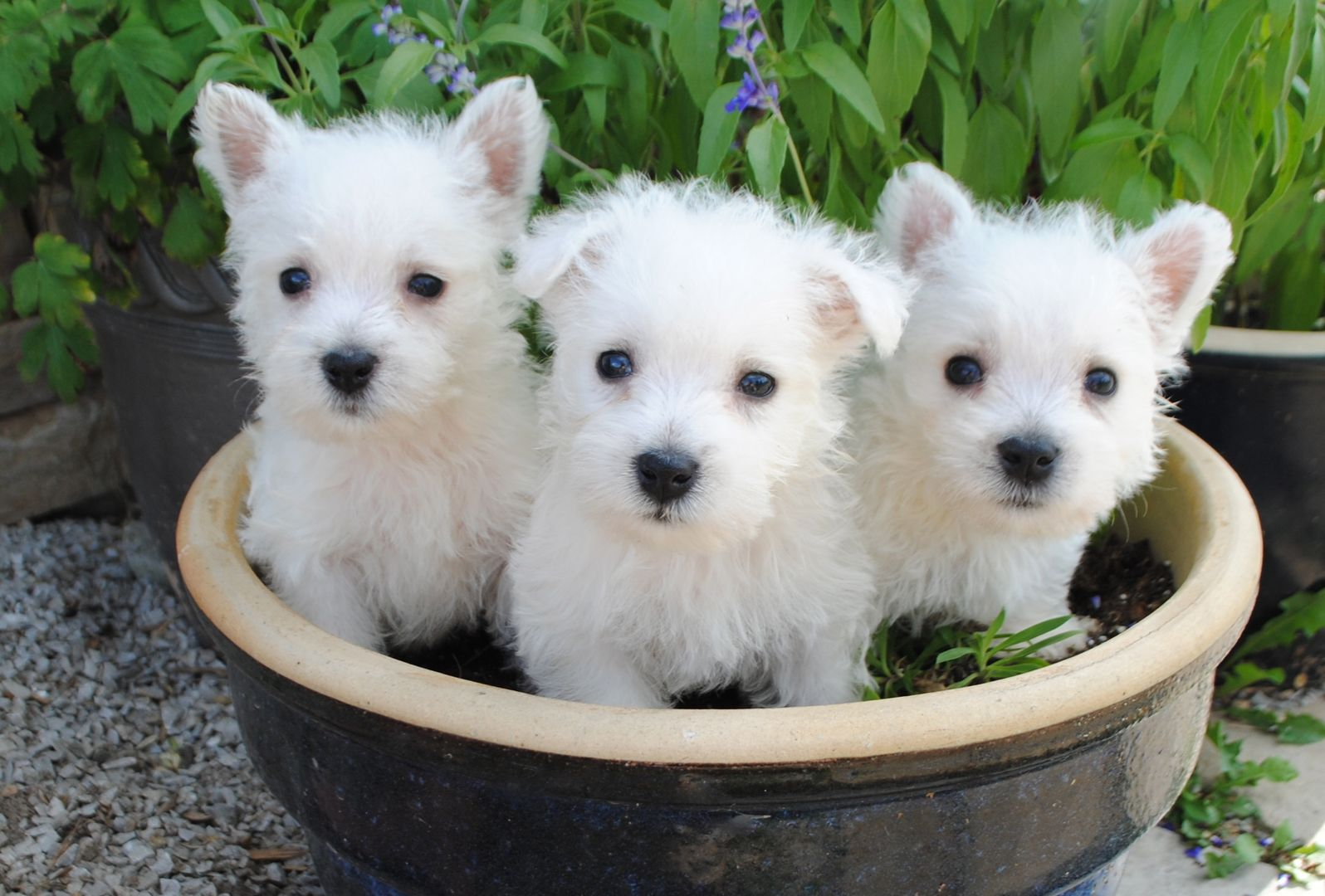 Bb41544f373692b767862195b7fecf68 1596 1080 West Highland White Terrier White Terrier West Highland Terrier