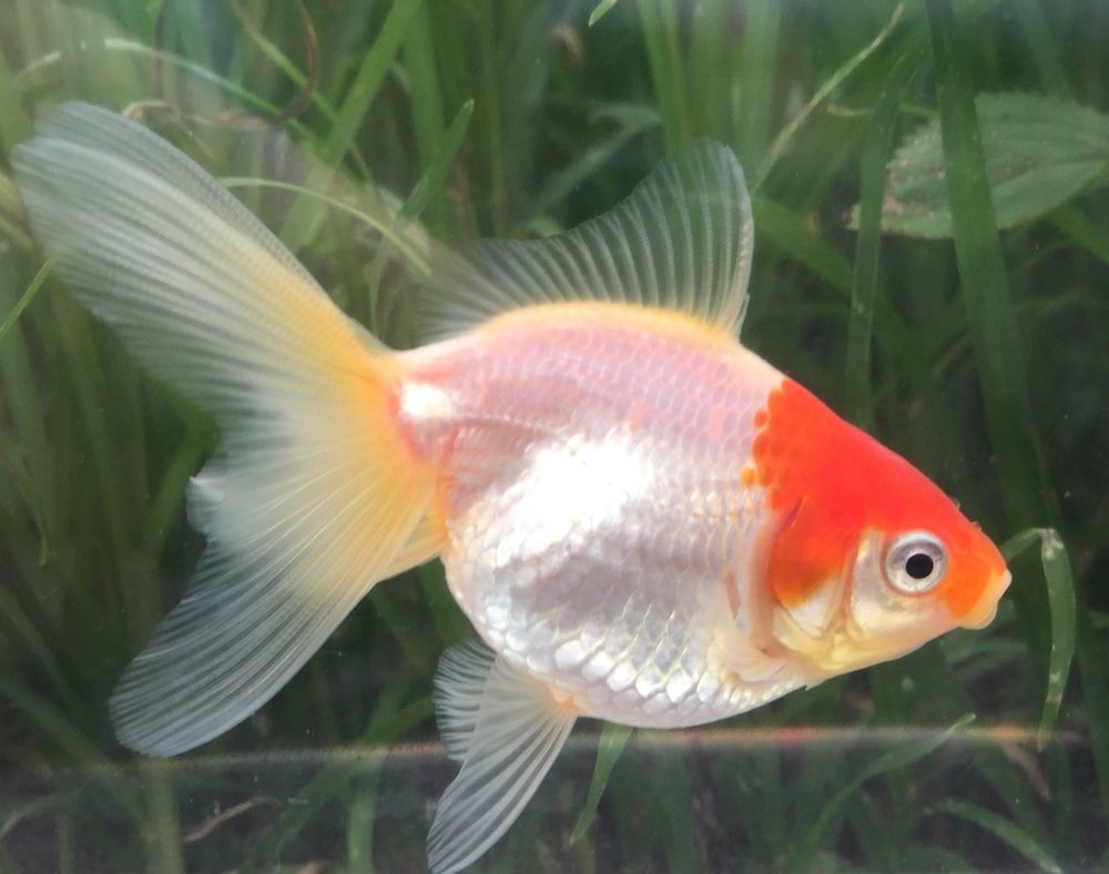 Beautiful red capped oranda goldfish  THIS IS FOR THE ACTUAL