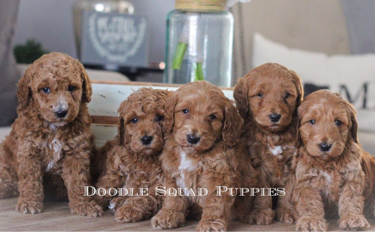 Goldendoodle Puppy Goldendoodle Puppy Goldendoodle Mini Goldendoodle Puppies