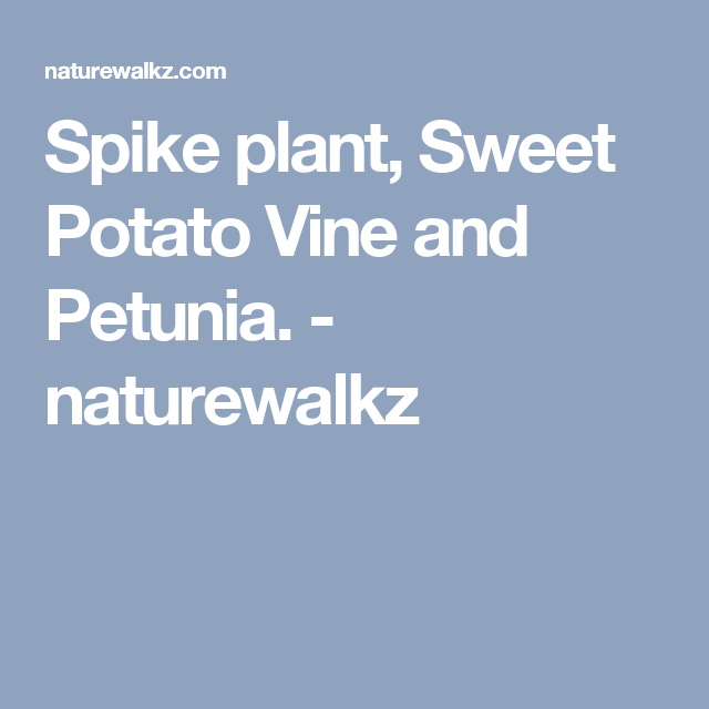 Spike plant, Sweet Potato Vine and Petunia. - naturewalkz