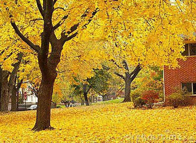 Yellow Maple Tree Landscape Alberi