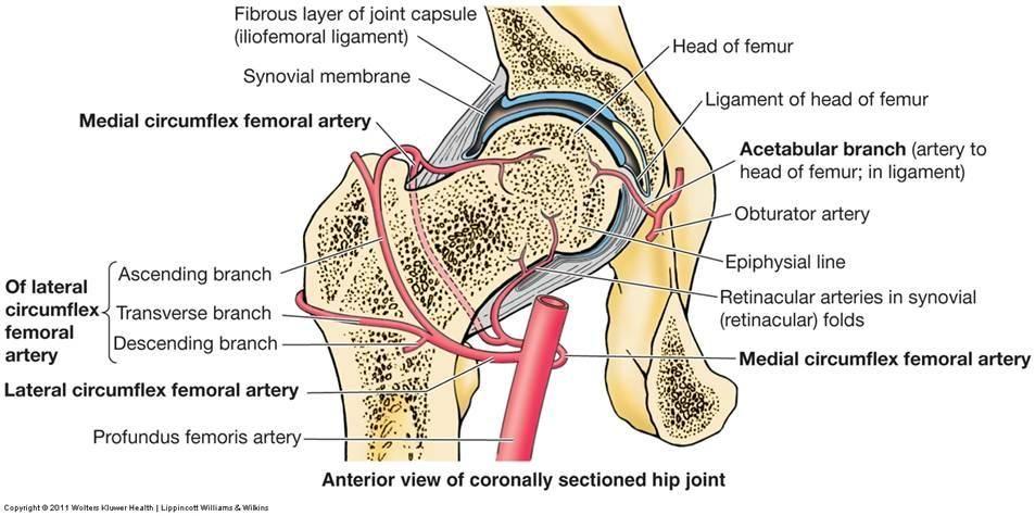 Femur Blood Supply Anatomy | Miss Chiro | Pinterest | Thighs and Medical