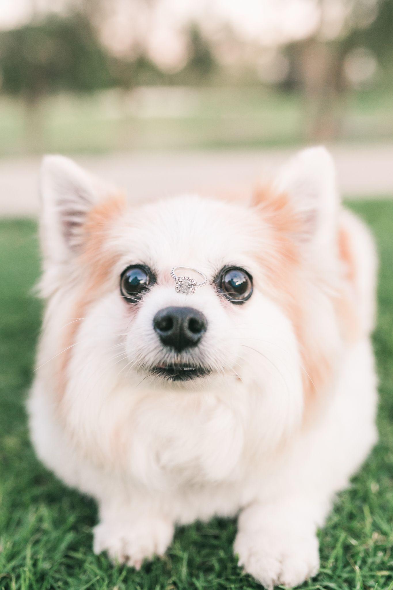 Wedding Ring Inspiration Corgi Mix Dogs Corgi