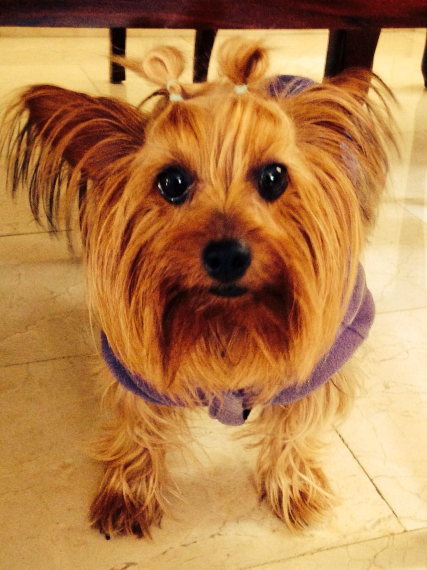 Hi My Name Is Bella Like Pretty In Italian I M A Yorkie And My Two Favorite Colors Are Pink And Purple Yorkie Your Dog Dogs