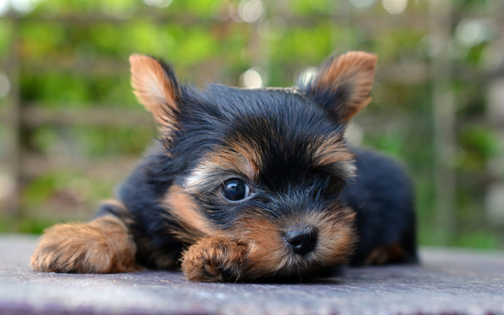 Download Wallpapers Yorkshire Terrier Puppy Cute Dog Yorkie Cute Animals Pets Black Yorkie Dogs York Yorkshire Terrier Dog Cute Dogs Rottweiler Puppies
