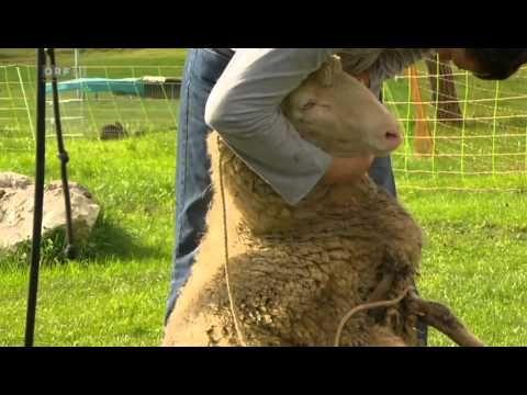 Schafe - Erfolgreiche Haustiere - Dokumentation 08.08.2015 - YouTube