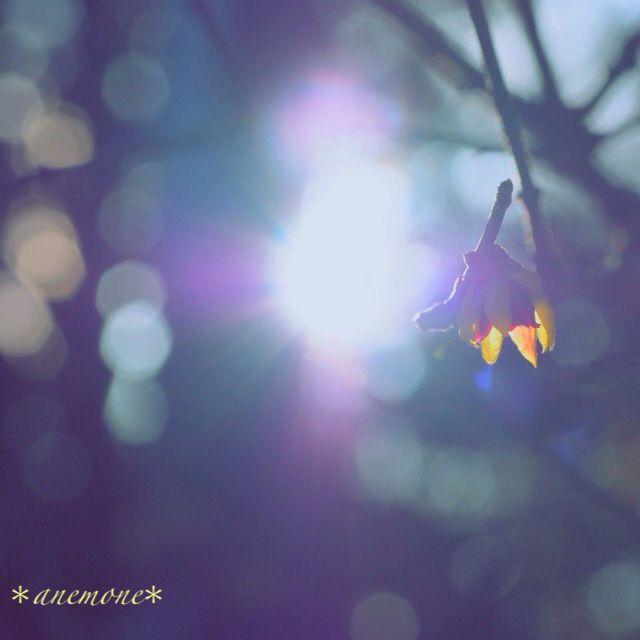 #蝋梅#winter sweet#ロウバイ