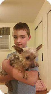 Burlington Nj Yorkie Yorkshire Terrier Mix Meet Lulu A Dog For Adoption Yorkshire Terrier Yorkie Yorkshire Terrier Yorkie