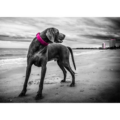Photo of East Urban Home glass picture Animal Weimaraner, impresión gráfica | Wayfair.de
