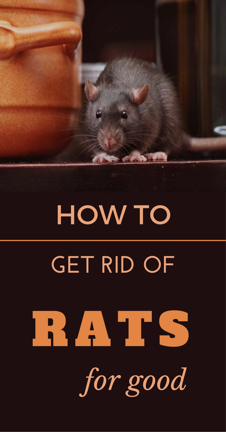 How To Get Rid Of Rats For Good Getting Rid Of Rats Rats
