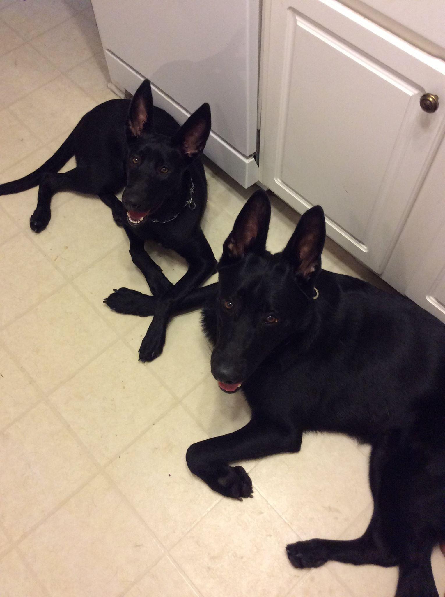 Www Wolfsbanek9 Com Belgian Malinois Black Belgian Malinois Malinois Dog Malinois Belgian Malinois