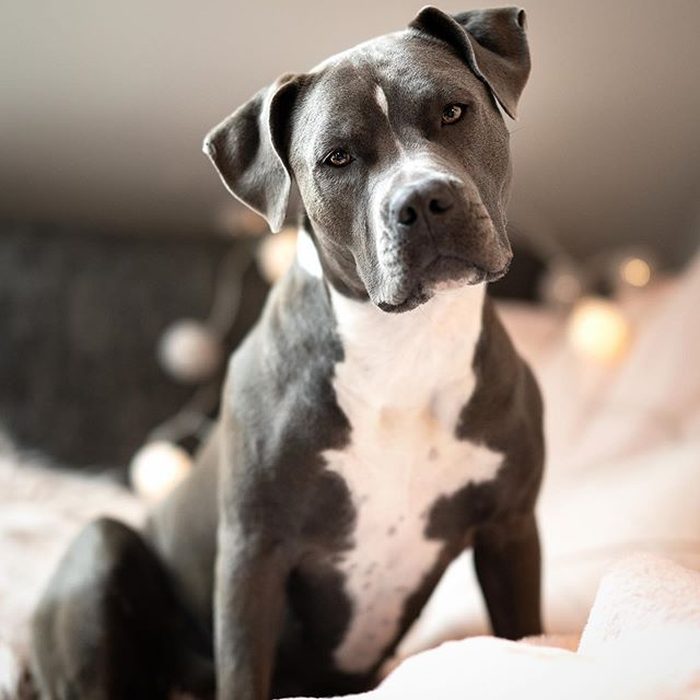 14 Interesting Facts About American Staffordshire Terriers
