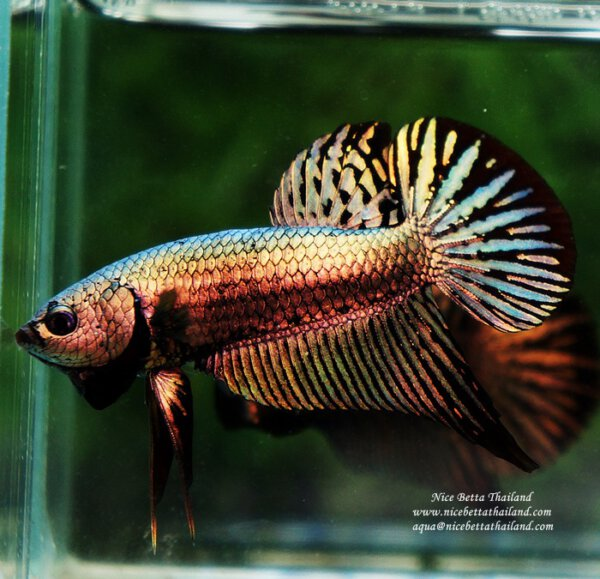 Nice Betta Thailand Co Ltd Betta Fish For Sale Siamese Fighting Fish Betta Fish Betta Betta Aquarium