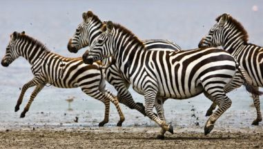 zebras-from-onekind-org