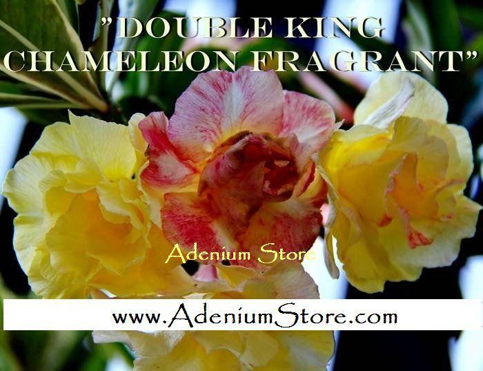 Adenium 'Double Fragrant Chameleon' 5 Seeds
