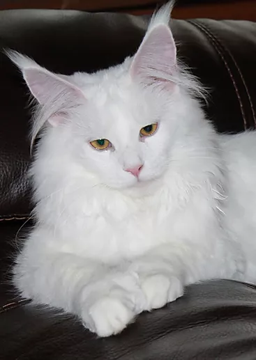 Maine Coon Cattery | TopLine Maine Coons | United States