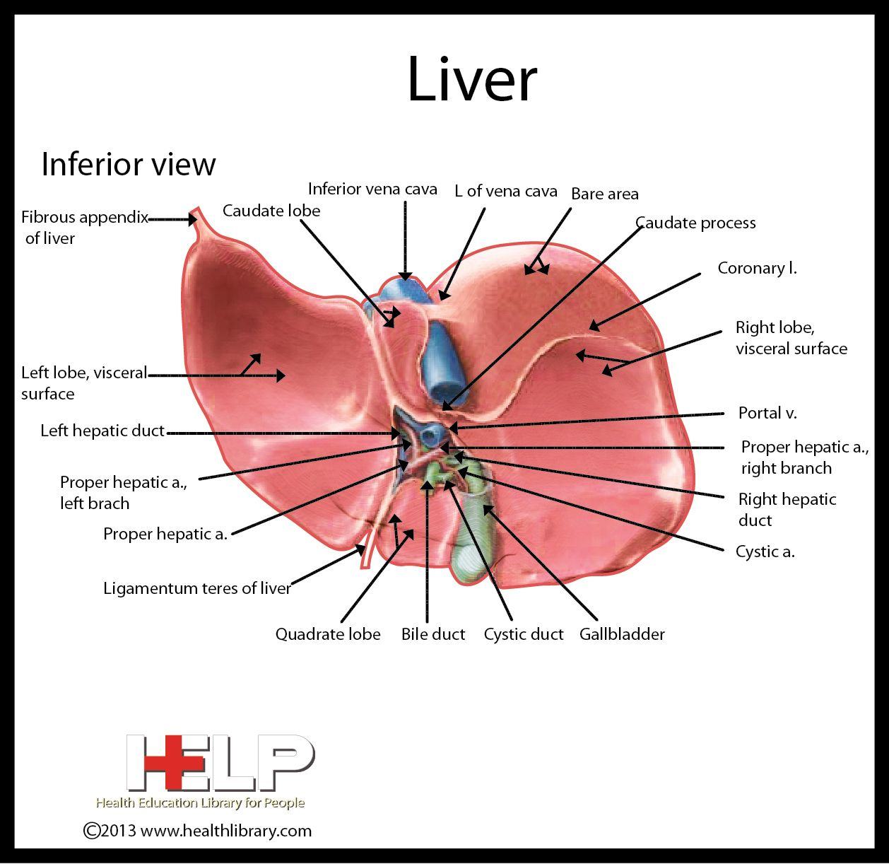 Pin by Patient Education on Liver | Pinterest