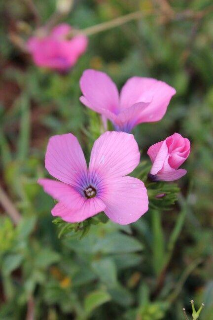 Jenin palestine spring wild flowers spring jenin palestine 2015 jenin palestine spring wild flowers mightylinksfo
