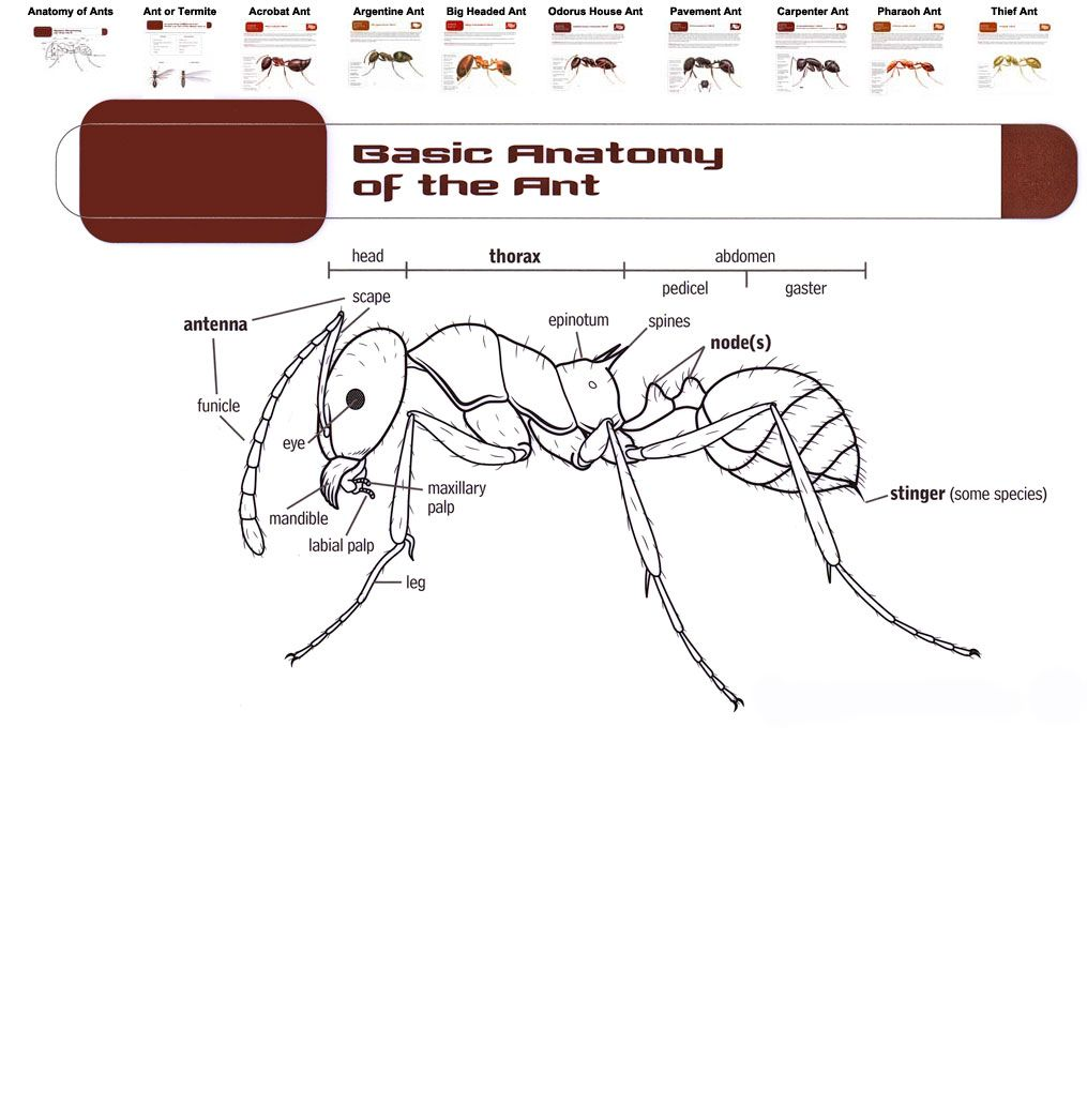 Anatomy Of An Ant Ant Anatomy Chart And Menu Ants And Termites