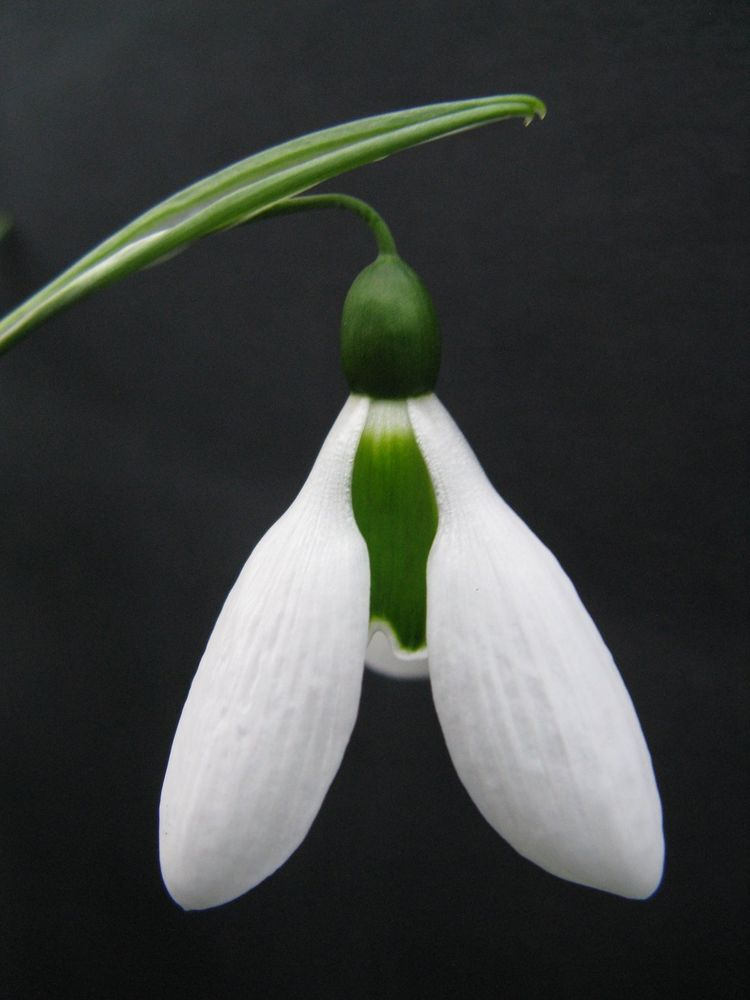 Galanthus Washfield Colesbourne A Collectors Snowdrop Botanical Flowers The Collector My Flower