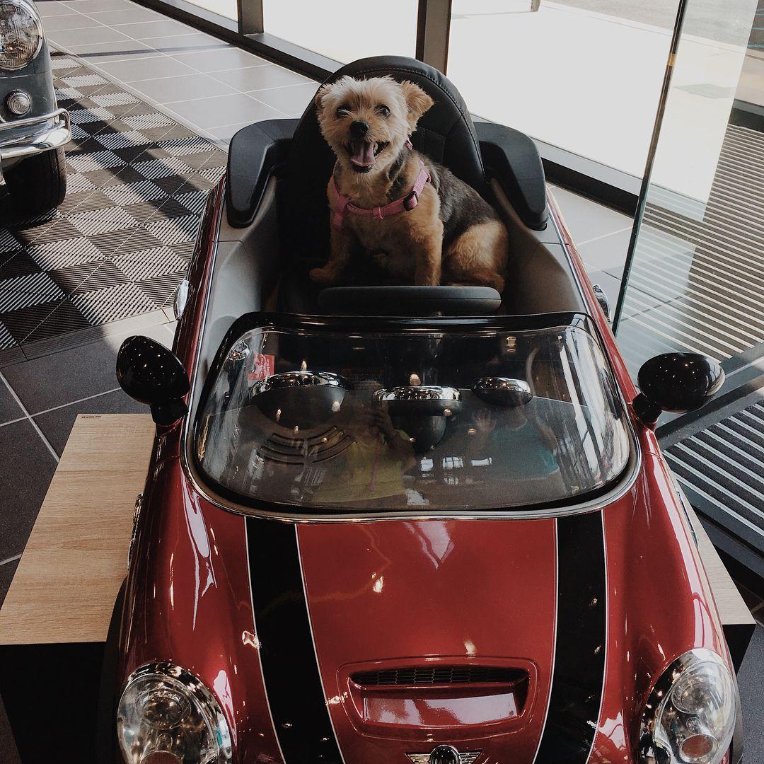 Baylee Knows That There S Nothing Like Driving Top Down On A Beautiful Day Miniofdutchesscounty Driveprestige Miniusa Mi Mini Usa Corgi Dog Mini