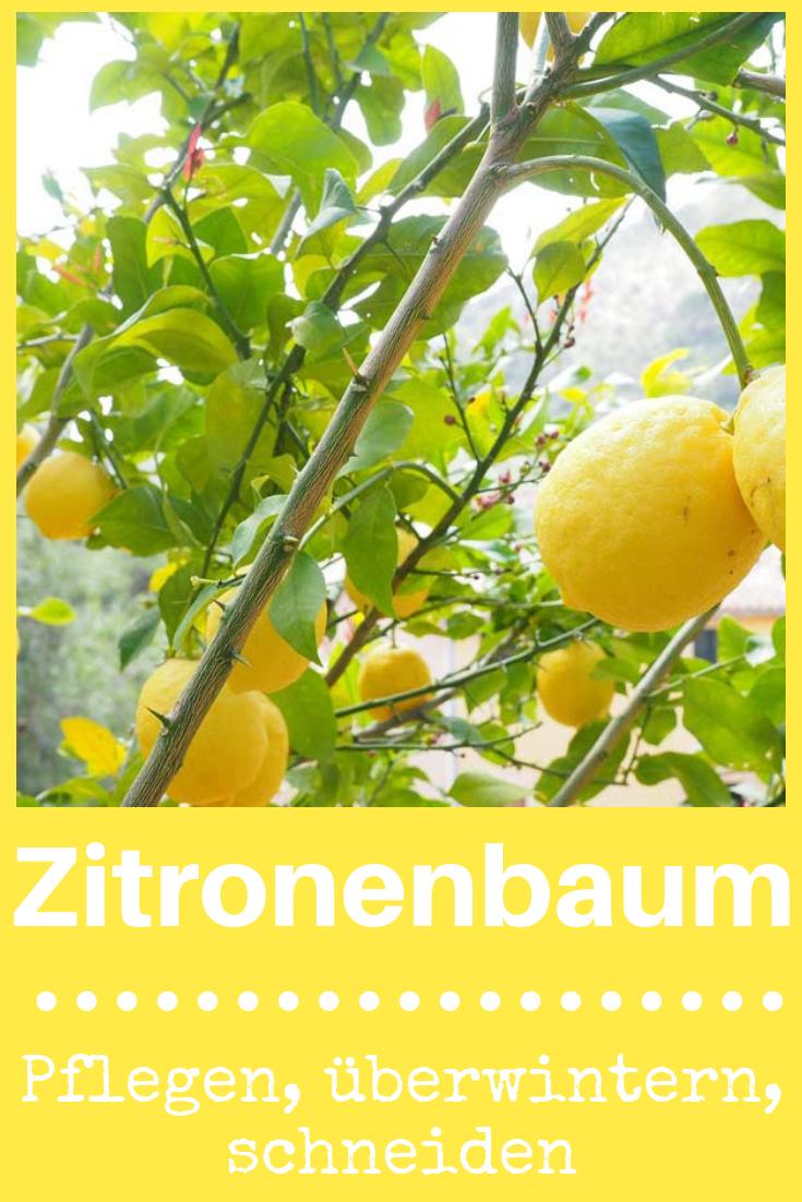 Zitronenbaum pflegen | Garten | Pinterest