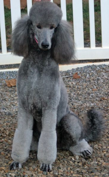 Silver Standard Poodle So I Get My Silver Standard Friday