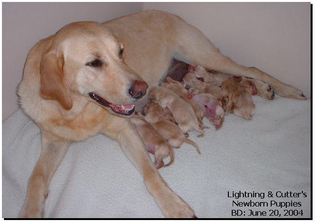 Newborn Yellow Lab Puppies Yellow Lab Puppies Lab Puppies