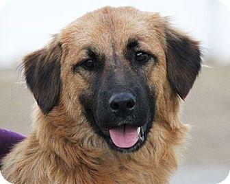 Smithfield Va Golden Retriever German Shepherd Dog Mix Meet