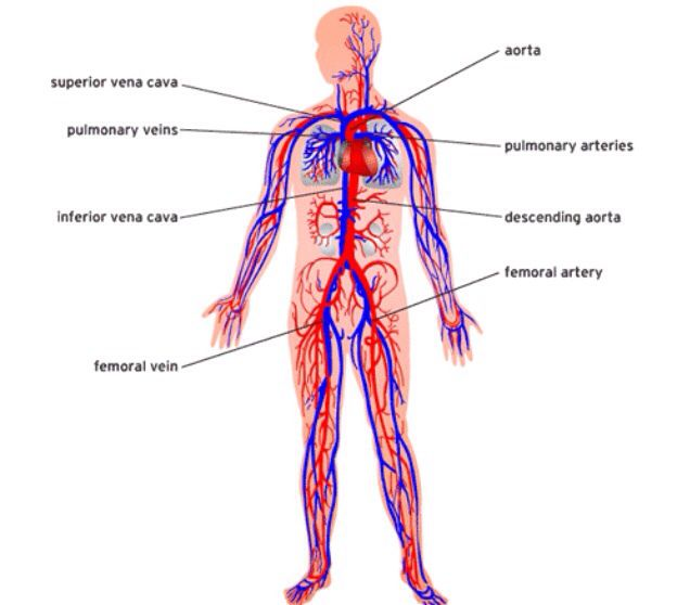 Cardiovascular System Mind Maps In Nature Pinterest