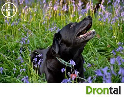 No other words could describe this relationship between dog and owner other then, inseparable. #drontal #friends #bestfriends #mybesyfriend #specialroles #dog #cutedog