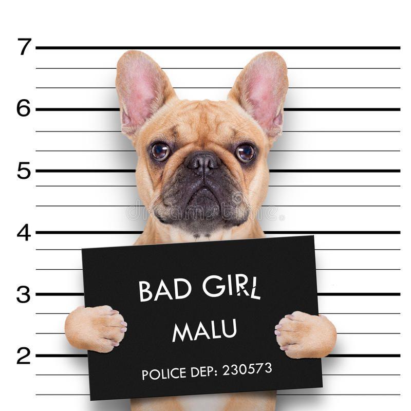 Mugshot Dog Criminal Bulldog At The Police Station Mugshot