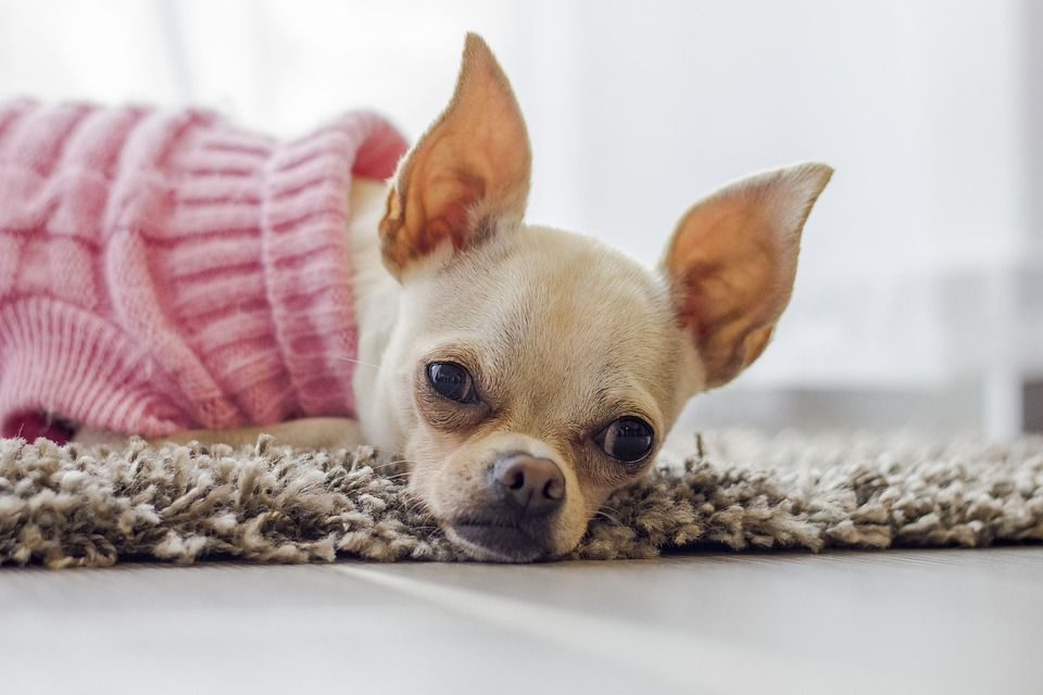 Tips On Raising A Puppy While Holding Down A Job With Images Cleaning Dogs Ears Dog Training Dog Training Obedience