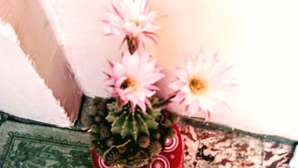 ورد صبار عمة القاضى Spring Flowers Cactus Flowers