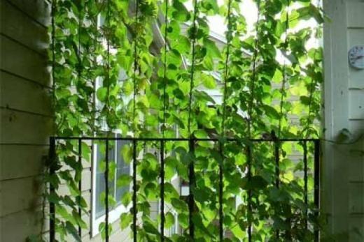 Money Plant Moneyplant