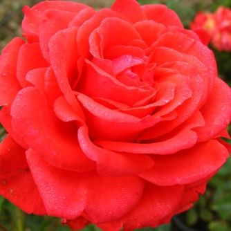 чайно гибридная роза мерседес