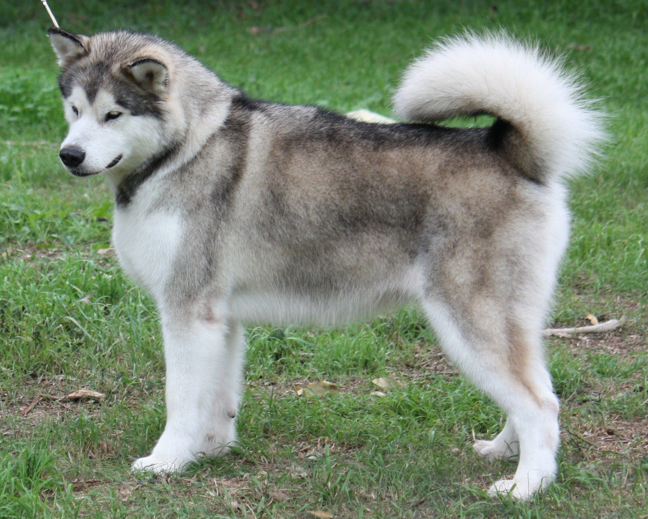 Alaskan Malamute Wallpapers Pictures Pics Photos Images