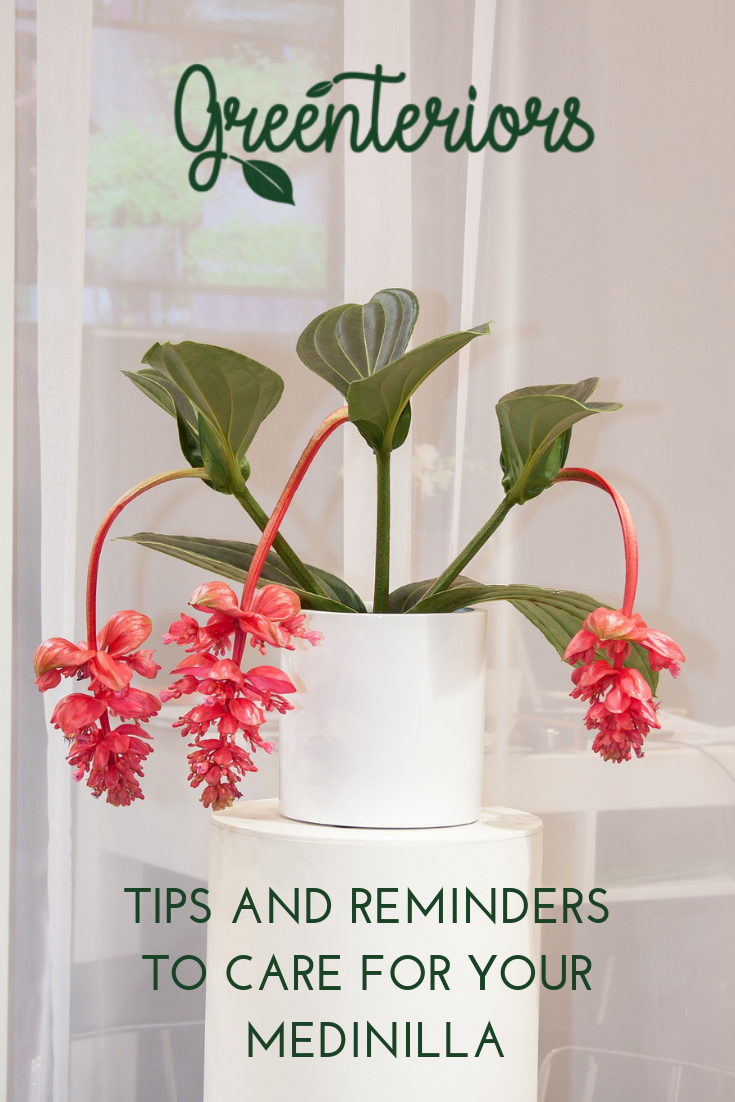 Did You Know That The Medinilla Is Non Toxic Find Out More About This Beautiful Flower By Downloading The Greenteriors Ap Indoor Plant Care Plants Flower Care