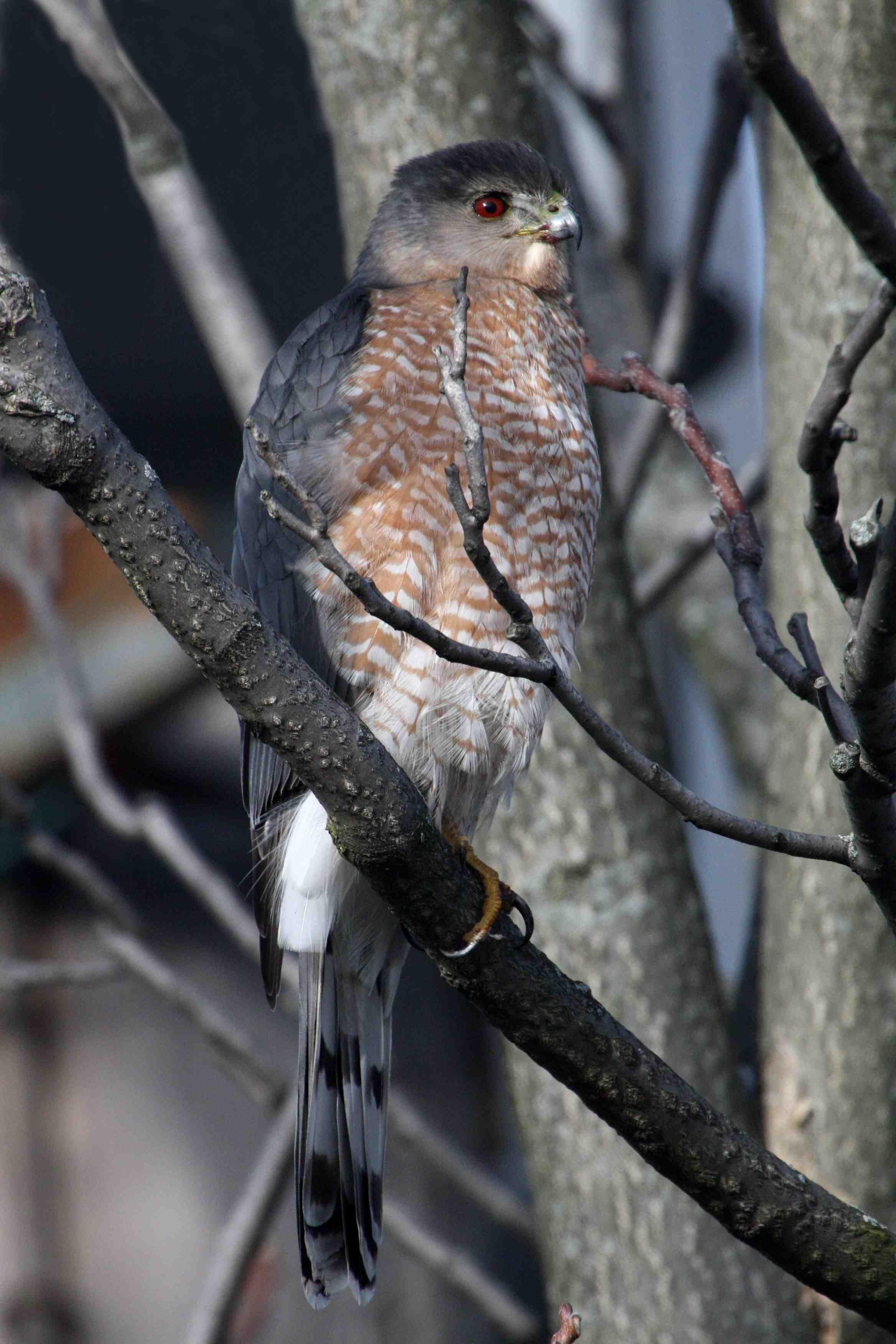 Hawk - The Indiana Insider Blog