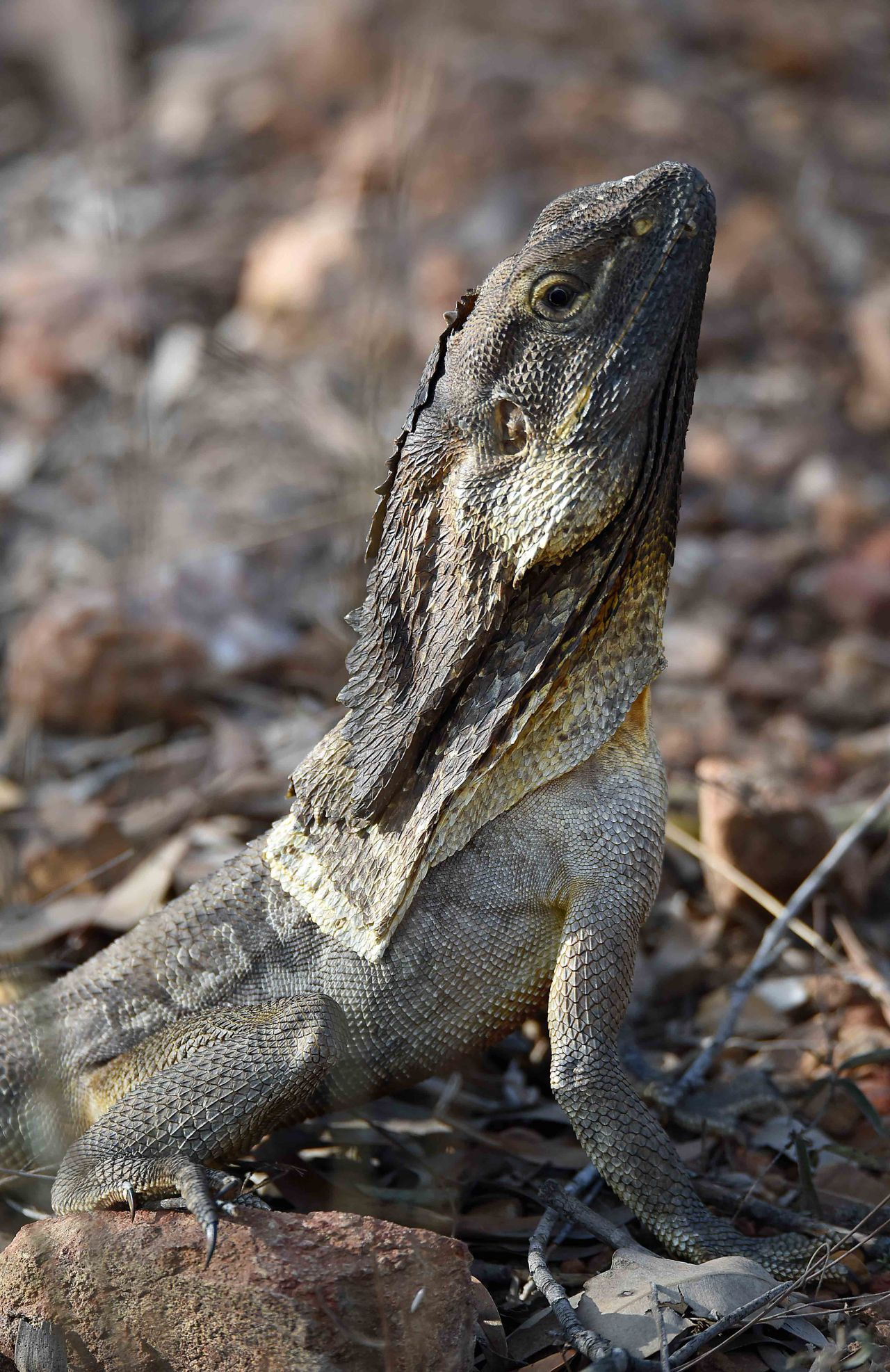 Photos Australian Wildlife 2 Australian Wildlife Wildlife Lizard