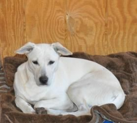 Blondie is an adoptable Whippet Dog in Egg Harbor, NJ