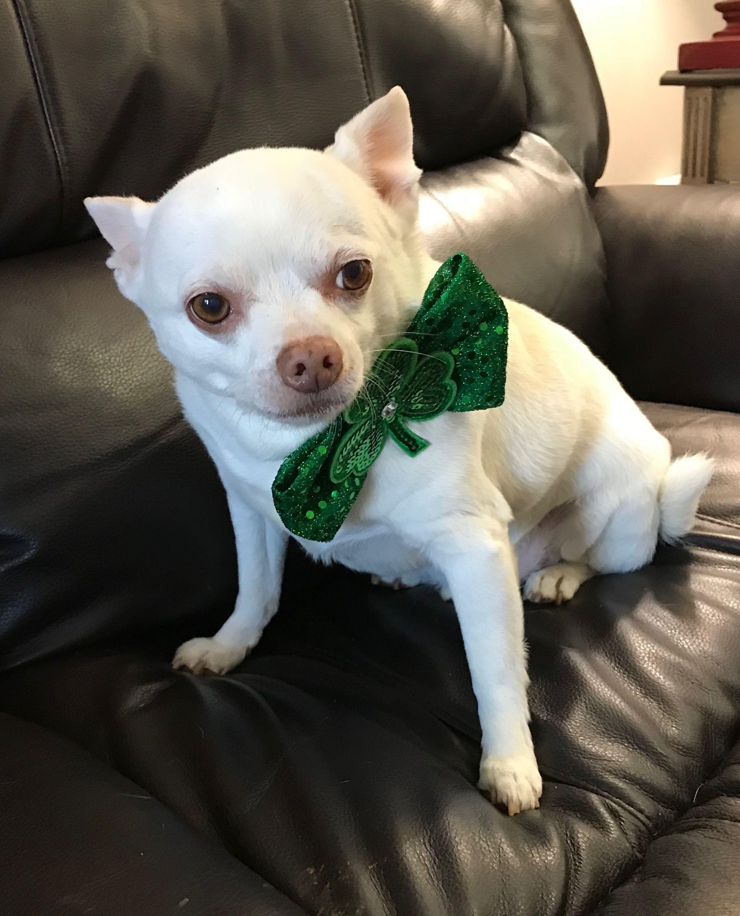 happy st. pat's! Cute chihuahua, Chihuahua love