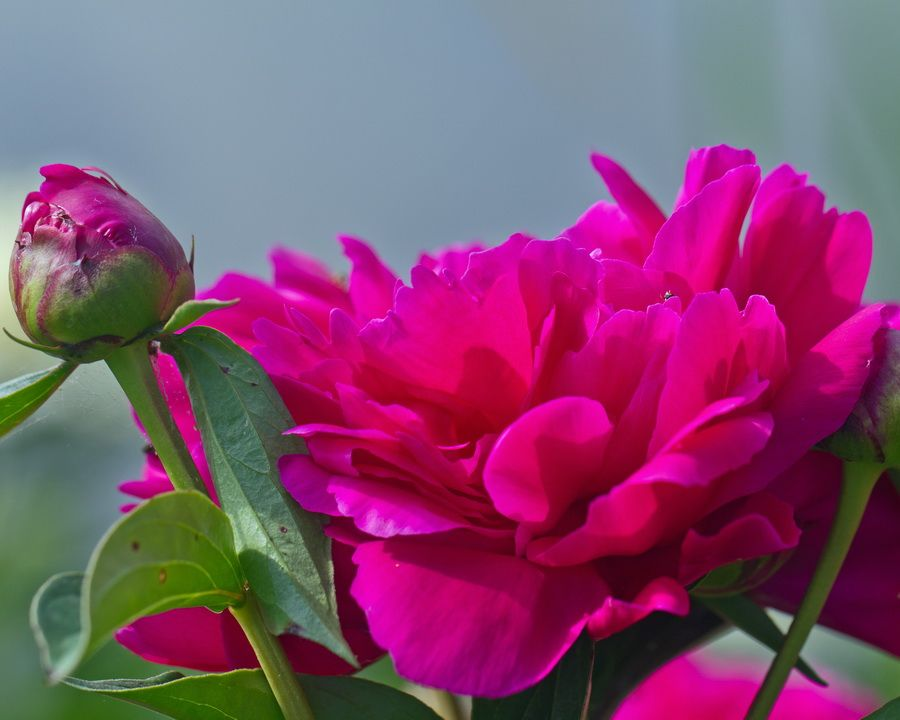 Peony and Bud by Mike Oberg