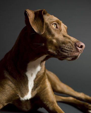 Weimaraner And Italian Greyhound Mix Looks Just Like Simone