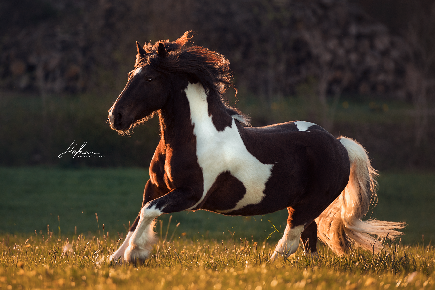 Irish Cop Galoppiert Im Sonnenuntergang Uber Wiese Tinker Schecke Wallach Pferd Bilder Foto Fotog Pferde Fotografie Pferdefotografie Pferdefotos